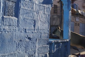 An urban cow in an indigo city.  There are dozens of stories why old Jodhpur is painted this amazing colour some of which are plausible.   The city is a dramatic sight in the early morning light of the Indian winter.